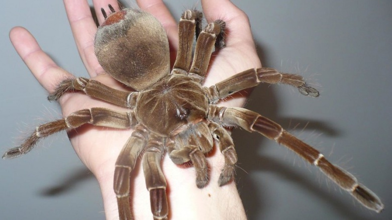 Largest spider ever recorded