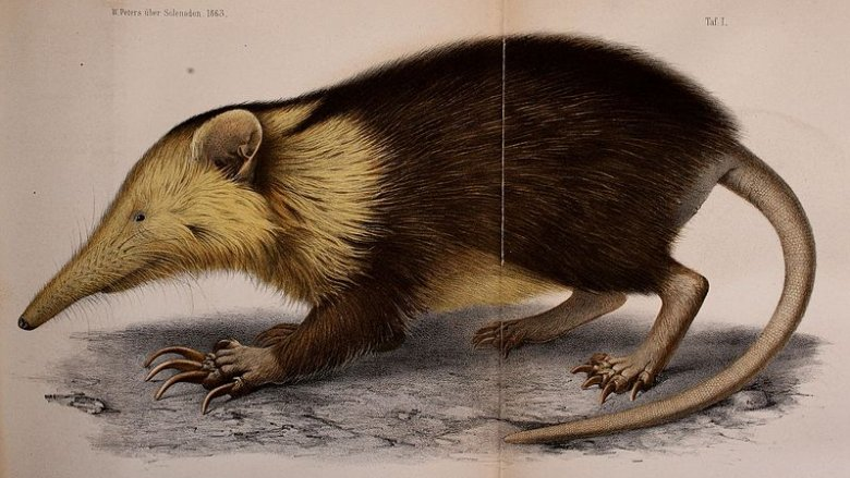 The Cuban solenodon