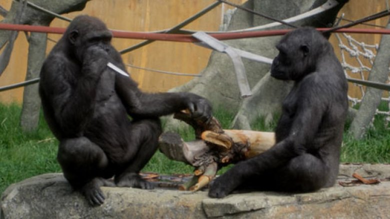 gorilla with knife