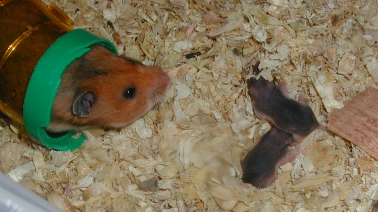 hamster with babies