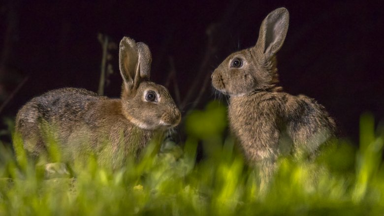 Rabbits at night