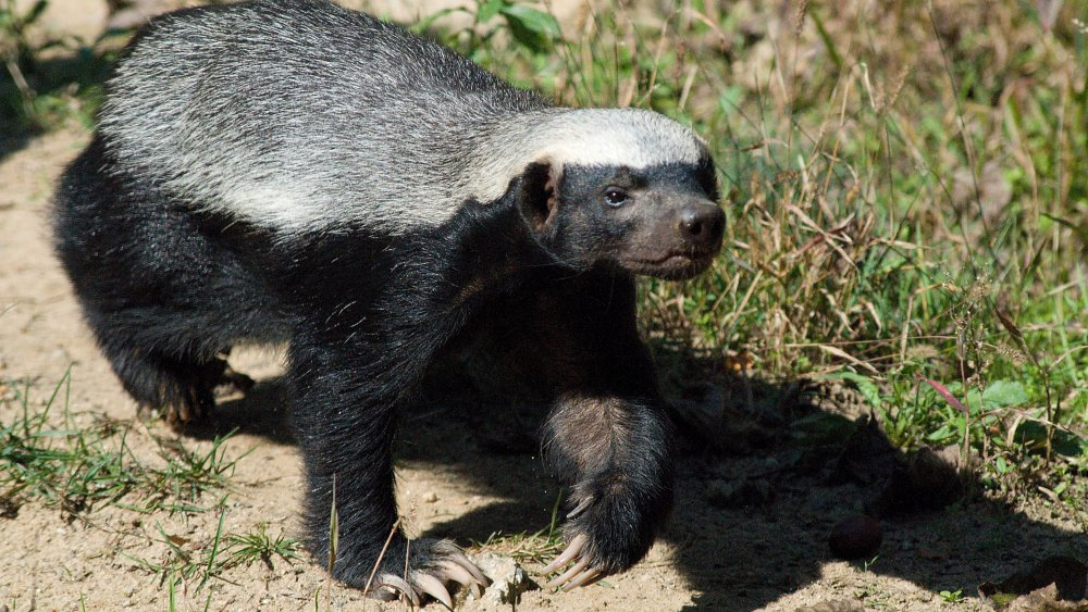 What Can Kill A Honey Badger